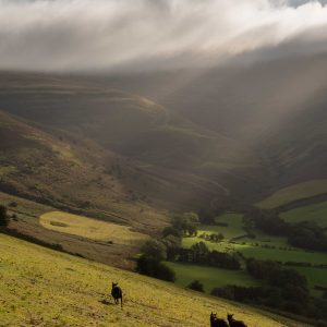 Black sheep in the Brecon Beacons