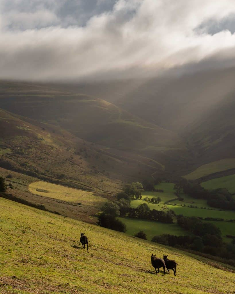 Black sheep on the Dragon's Back which is one of my favourite walks in the Brecon Beacons